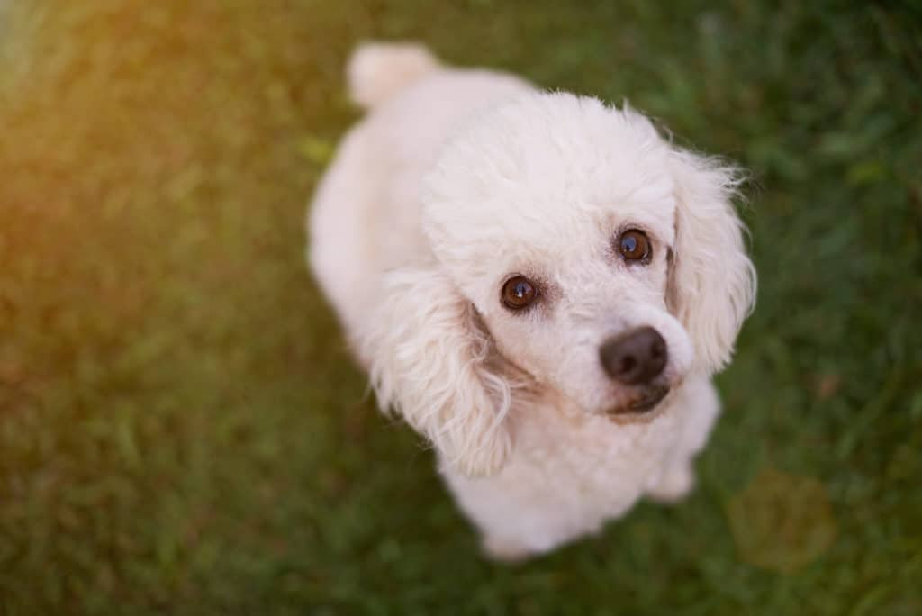 Can Poodles Be Left Alone What Every Owner Should Know Poodle Report