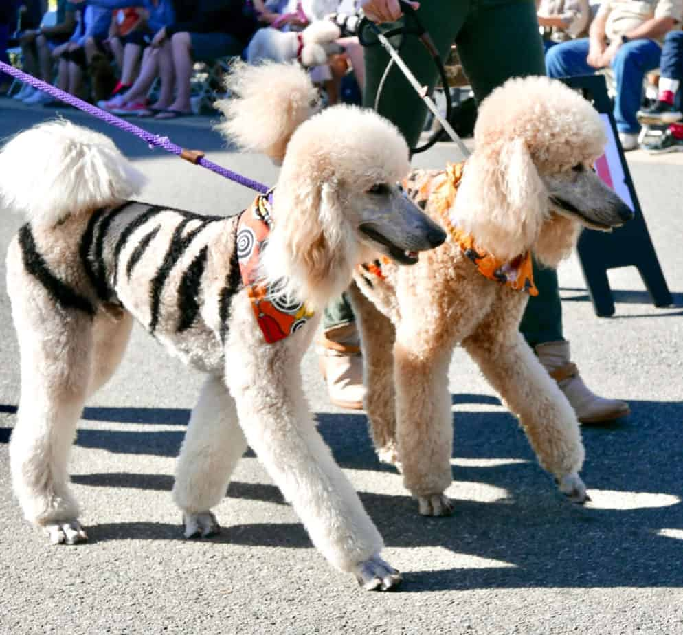 https://poodlereport.com/wp-content/uploads/2019/10/Canva-Poodle-Parade-1024x952.jpg