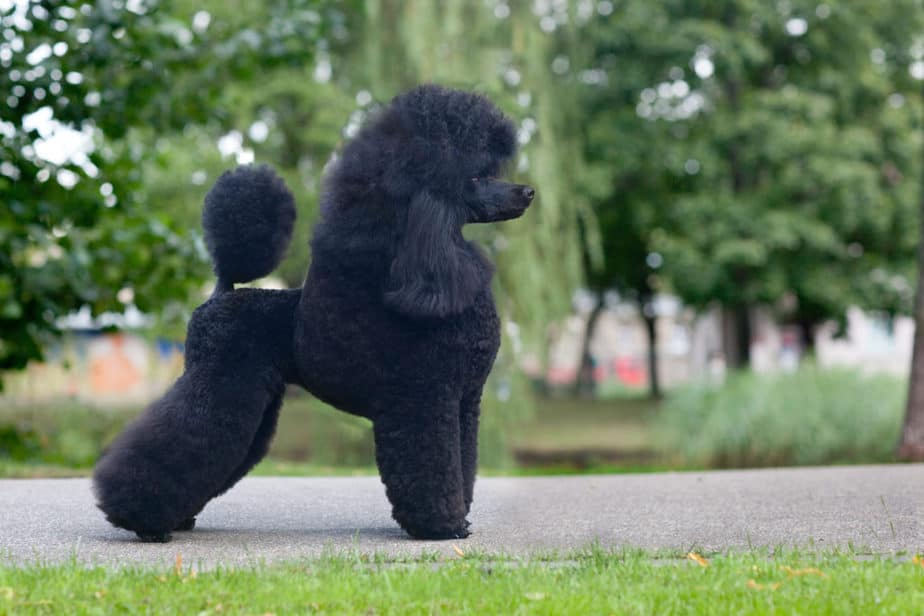How To Tell If Your Poodle Is Purebred A Complete Guide