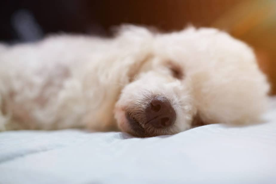 Where When And How Much Should A Poodle Sleep Poodle Report